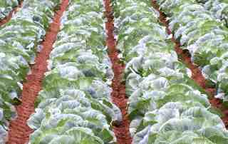 Cabbage Field