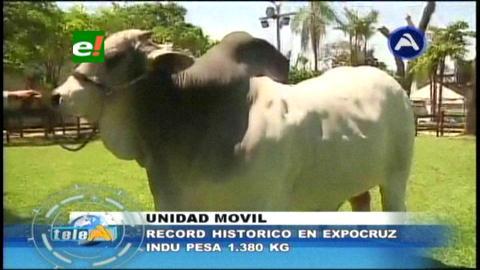 Indú marca un nuevo récord de peso en Expocruz con 1.380 kilos