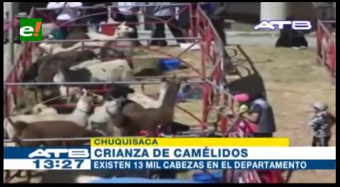 Incrementa la crianza de camélidos en el departamento de Chuquisaca