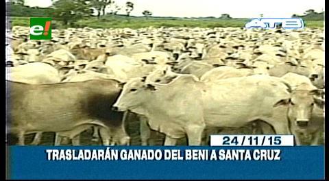 Titulares de TV: Trasladarán 150 mil cabezas de ganado de Beni a Santa Cruz ante el peligro del Fenómeno del Niño