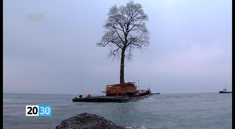 Insólito: millonario trasladó un árbol de 135 años por el mar Negro