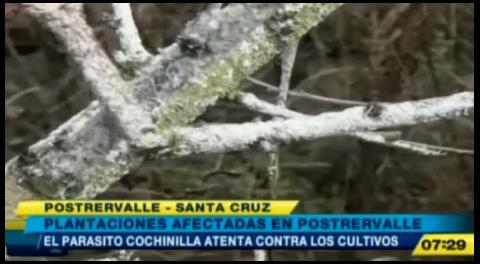 Parásito cochinilla afecta a plantaciones en Postrervalle