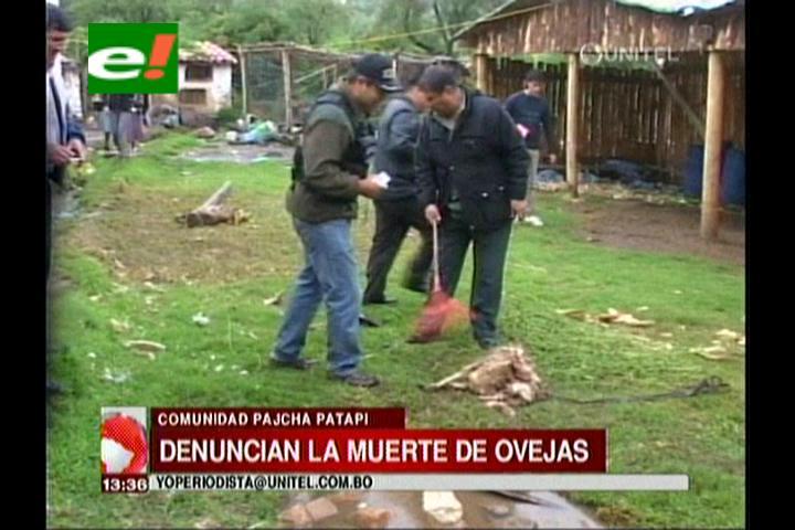 Cochabamba: Denuncian la muerte de ovejas en la comunidad Pajcha Patapi