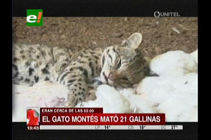 Matan a felino presunto asesino de animales en Sacaba