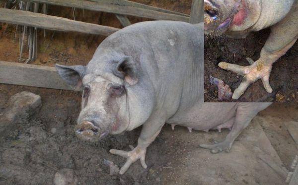 Cerdos con patas de ave sorprenden a miles en Brasil