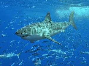 ¿Los tiburones blancos son grandes viajeros?