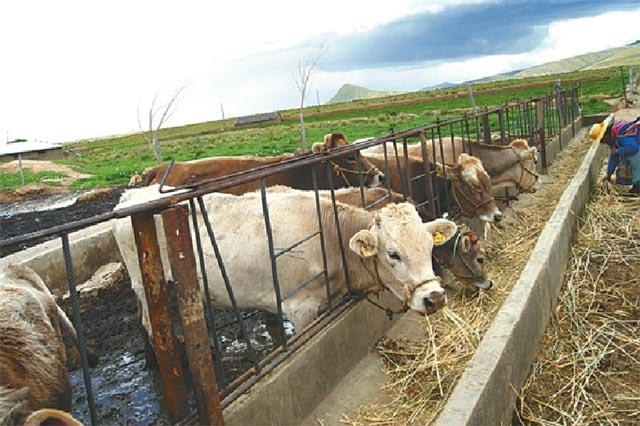 CAF apoya la producción de bioinsumos para alimentar lecheras en el altiplano