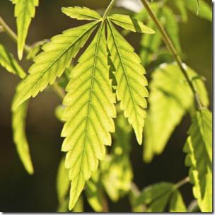 Se calcula que la mitad de la marihuana que se consume en Reino Unido es un producto casero.