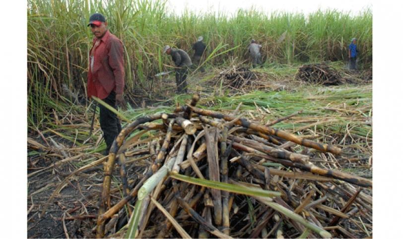 Aproximadamente 5 mil zafreros están trabajando arduamente en la cosecha de caña de la zafra 2014.