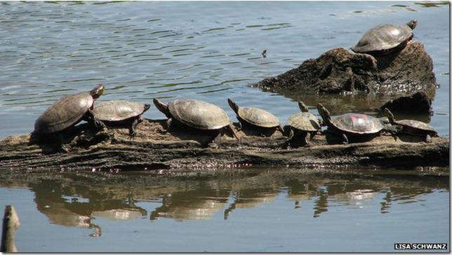 tortugas_pintadas