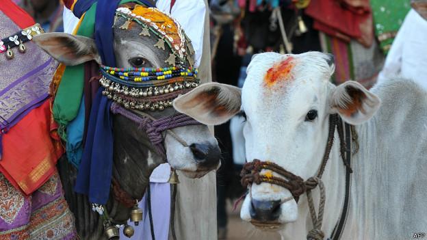 Vacas en Kerala (foto de archivo)