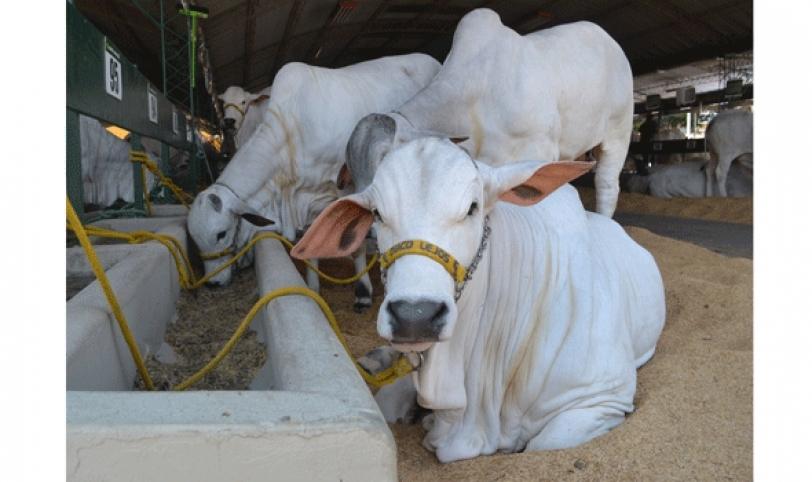 Aproximadamente 42 cabañas afiliadas a Asocebu invierten en generar genética en el país.