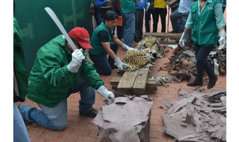Cueros de jaguar, tigre, tigrillo, cascabel, boa sicurí, zorrino, puma, lagarto y capiguara fueron las destruidos por las autoridades de medio ambiente.