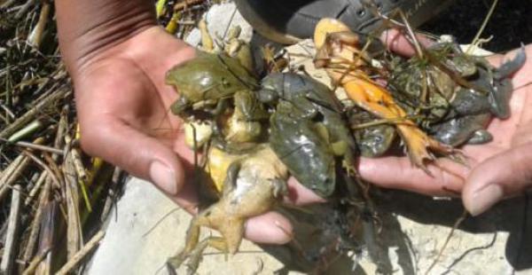 La rana o sapo gigante es una especie única en el mundo descubierta en 1969 en el lago Titicaca