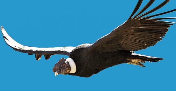 A diferencia de otras aves de presa, el cóndor macho es mucho más grande que la hembra
