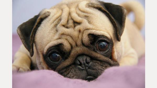 Un perro de la raza Pug fue secuestrado y hubo pedido de rescate. (Foto ilustrativa)