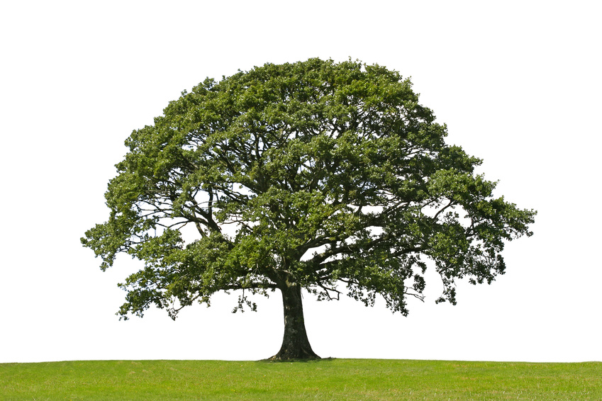 Oak tree in full leaf standing alone in a field in summer against a white background