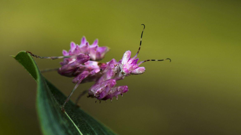Una pequeña mantis.fotografiada en Franceville, Gabón