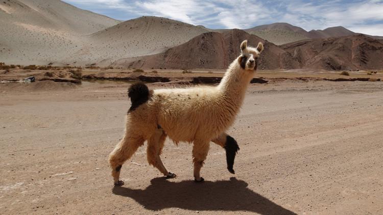 Una llama cruza una carretera en la provincia argentina de Salta
