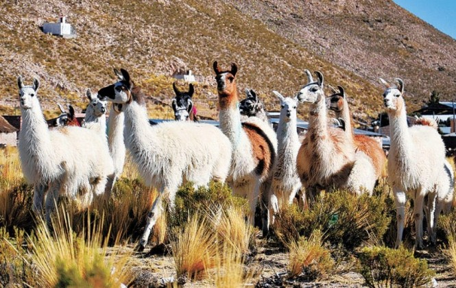 Productores de quinua migran a la crianza de camélidos para equilibrar sus economías