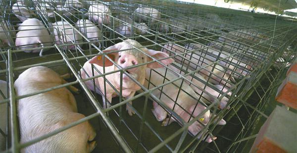 Las granjas de los socios de Adepor en Santa Cruz cuentan con todas las condiciones de infraestructura y sanidad para producir cerdos de excelente calidad