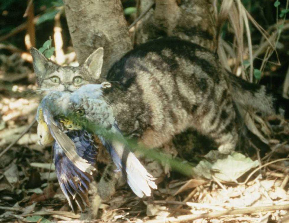 Un gato asilvestrado ataca a un ave en Australia.