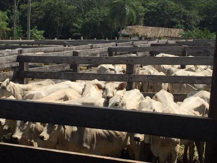 Gobierno entrega 661 vaquillas a los ganaderos de San Javier