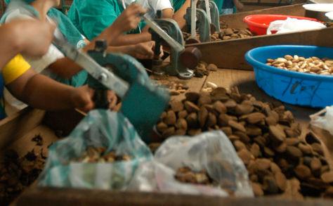 Quebrado manual de la castaña en una planta beneficiadora de Trinidad. Foto: Nicolás Quinteros-Archivo