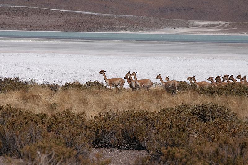 File:Laguna Hedionda y vicuñas - Potosí - Bolivia.jpg