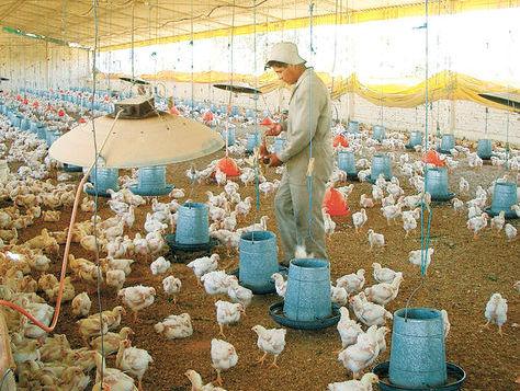 Un hombre da de comer maíz a los pollos en una granja exclusiva para su crianza. Foto: Fernando Cartagena-Archivo.