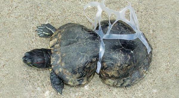 Tortuga atrapada en el plástico de paquete de 6 botes de bebida