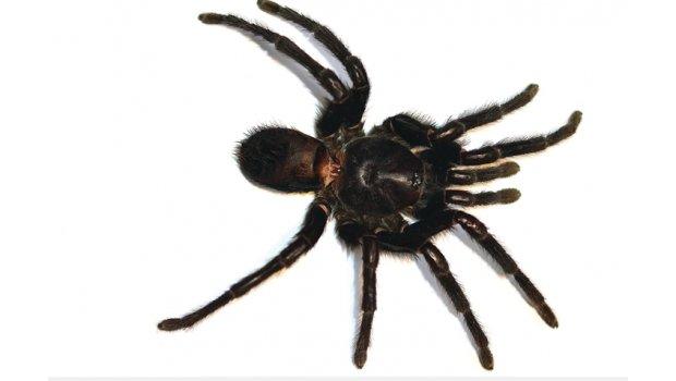 Hembra de la especie Kankuamo marquezi. Foto: sdpnoticias.com