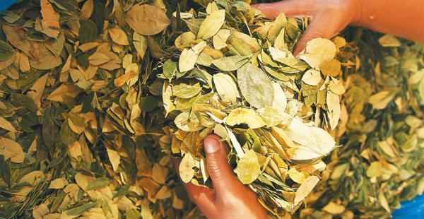 erradicación de cocales bolivia mantiene una política de destrucción de cultivos ilegales Según la ONU, más de 11.000 toneladas de hoja de coca no pasaron por los mercados legales en Bolivia