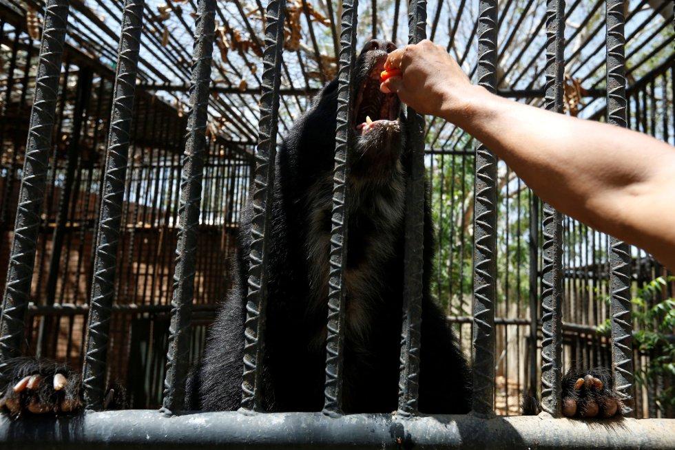 Cuando comenzó a escasear la comida, los cuidadores de los animales trataron de alimentar con mangos y calabazas a grandes depredadores, como leones y tigres, en un intento de saciarlos ante la falta de alimento. Un trabajador alimenta con papaya a un oso andino, en el zoo venezolano de Paraguaná en Punto Fijo, el 22 de julio de 2016.