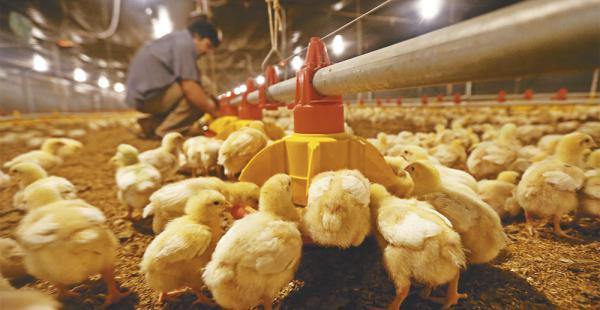 Los avicultores toman previsiones para asegurar la provisión de pollo y huevo en el país