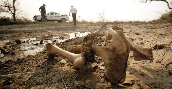 Al igual que en Beni (foto), Santa Cruz registra pérdidas en sus cultivos y falta de agua para su hato bovino