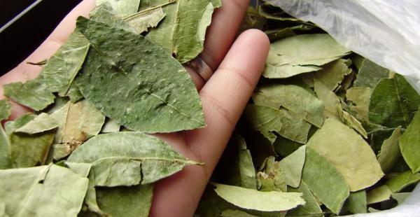 El uso de la hoja de coca solo quitará el amargo del cacao