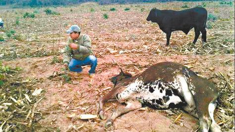 Muerte de ganado en áreas rurales de Santa Cruz