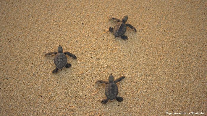 Südatlantik Meeresschildkröten auf der Insel Ascension (picture-alliance/Photoshot)