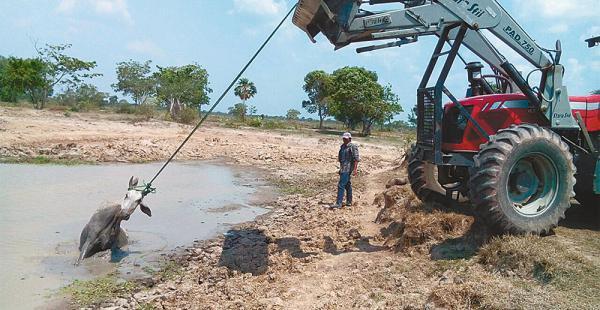 Ganaderos de la provincia Cercado extreman esfuerzos para salvar a los bovinos que sucumben atascados en el intento de beber agua de los atajados