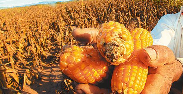 Los cultivos sufrieron por la sequía