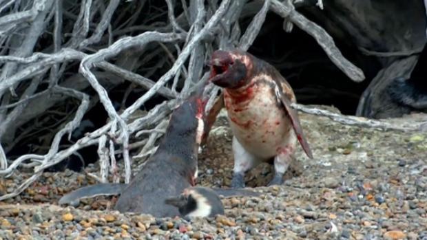 Los pingüinos machos mantuvieron una brutal pelea tras descubrir la infidelidad - National Geographic
