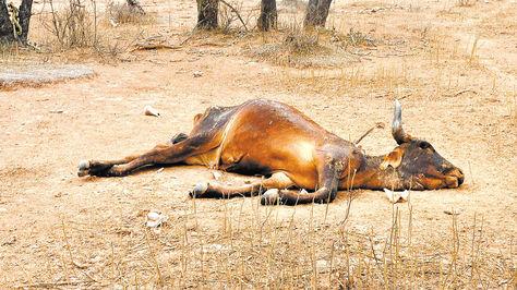 La sequía mató a 5.000 reses en Tarija