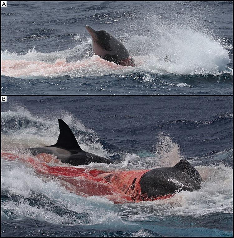 La imagen A muestra la cabeza del zífido atacado. En la imagen B el zífido presenta la piel arrancada hasta la aleta dorsal.