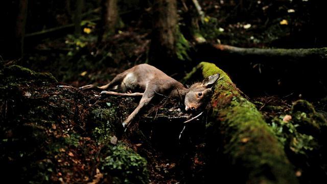 Un ciervo herido en Oi, prefectura de Fukui