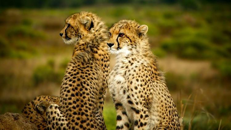 Los guepardos corren lanzados hacia su propia extinción