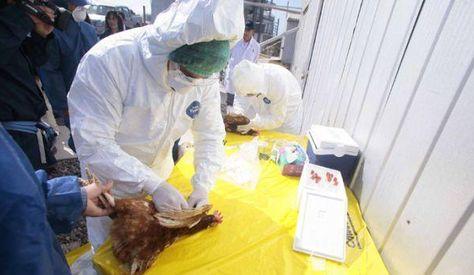 Un especialisata analiza el brote de gripe aviar. Foto: EMOL /GDA