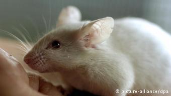 Mann oder Maus? - Nager hat 1000 Gene mehr (picture-alliance/dpa)