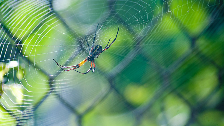 Conquistan el mundo colgadas del viento: las increíbles técnicas migratorias de las arañas