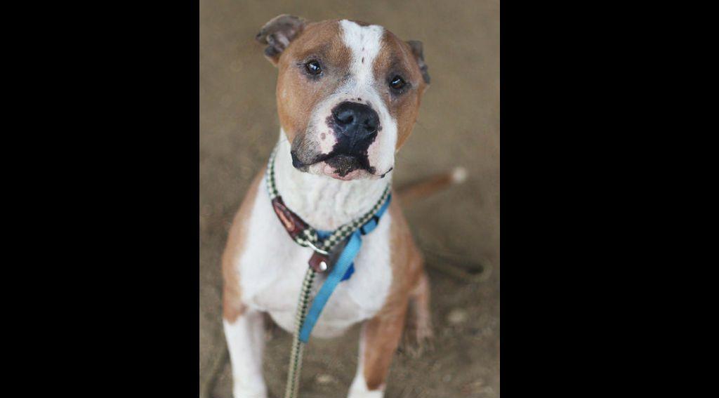 Russ durante su tiempo en el refugio para perros ACCT Philly. (Crédito: Caroline Mills/ACCT Philly)